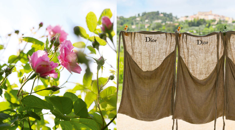 Dior in Grasse preserving the art of cultivating The May rose featured in Perfect Wedding Magazine